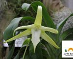 The Darwin´s orchid blooms for the first time in the Canary Islands